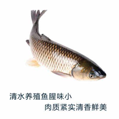 博华清水鲩1100g—1200g